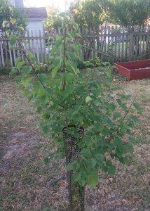 Manchurian Apricot Fruit Tree in Wisconsin Garden